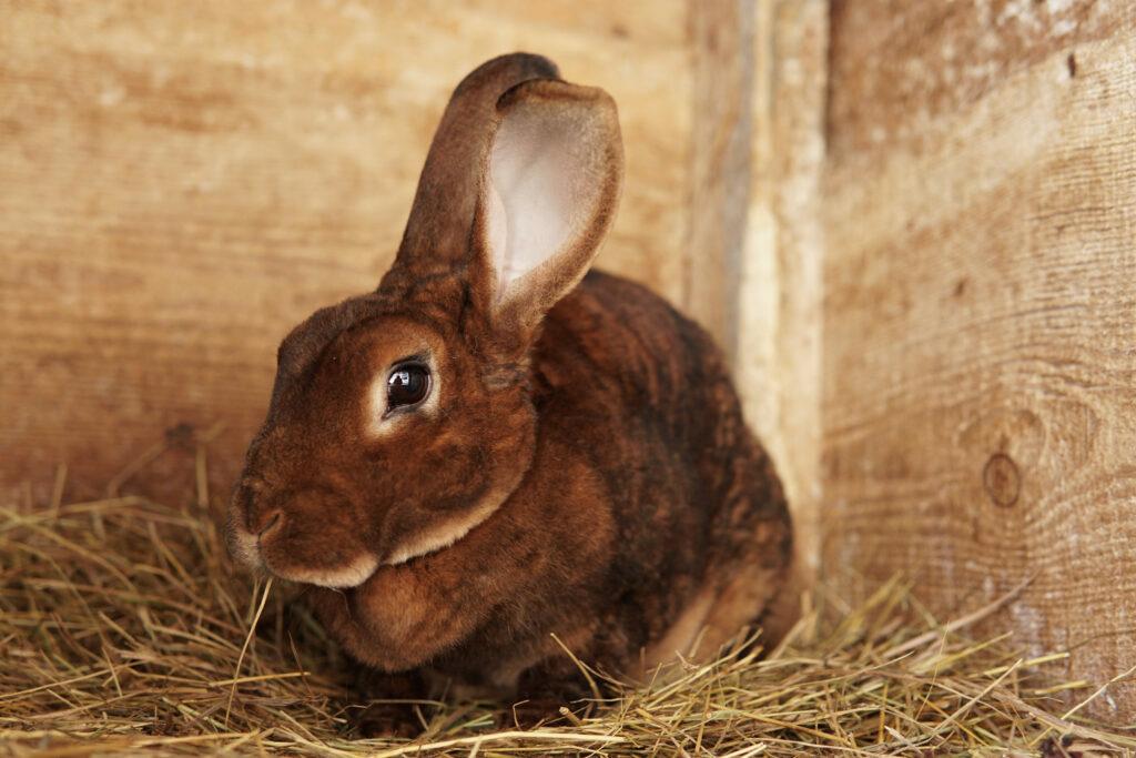 brązowy królik rasy reks