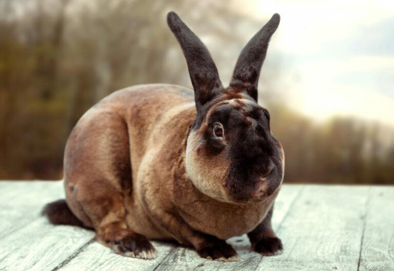 królik rasy reks