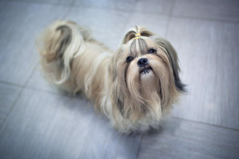 Shih tzu dog food