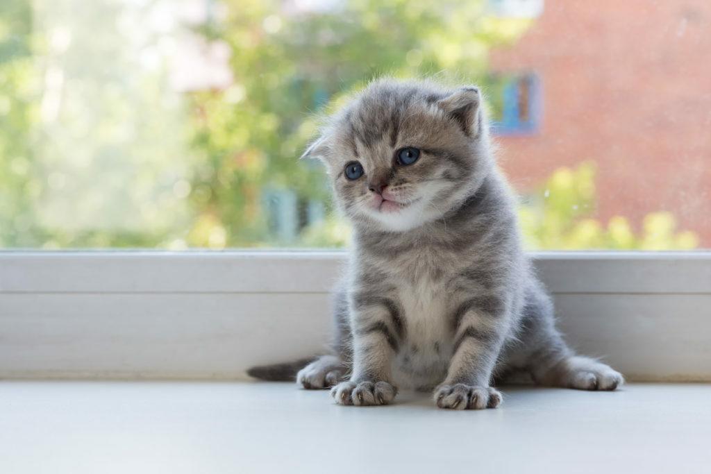 kot szkocki zwisłouchy kocię