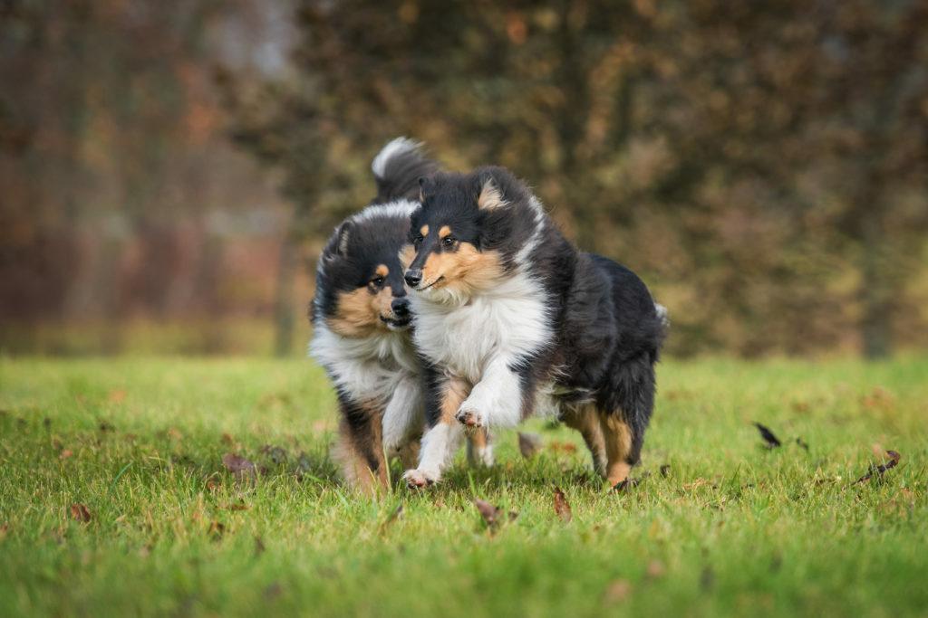dwa młode owczarki szkockie długowłose