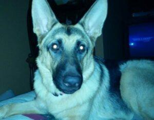 oczy psa w nocy