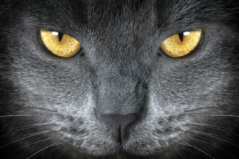 wzrok kota