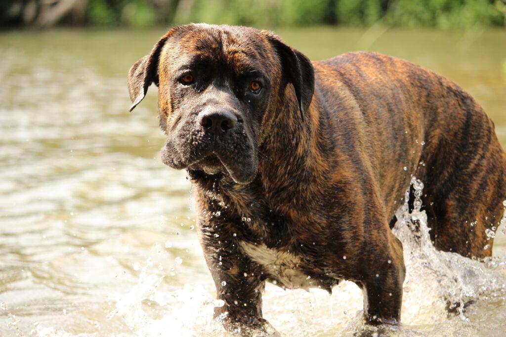 cane corso italiano w wodzie