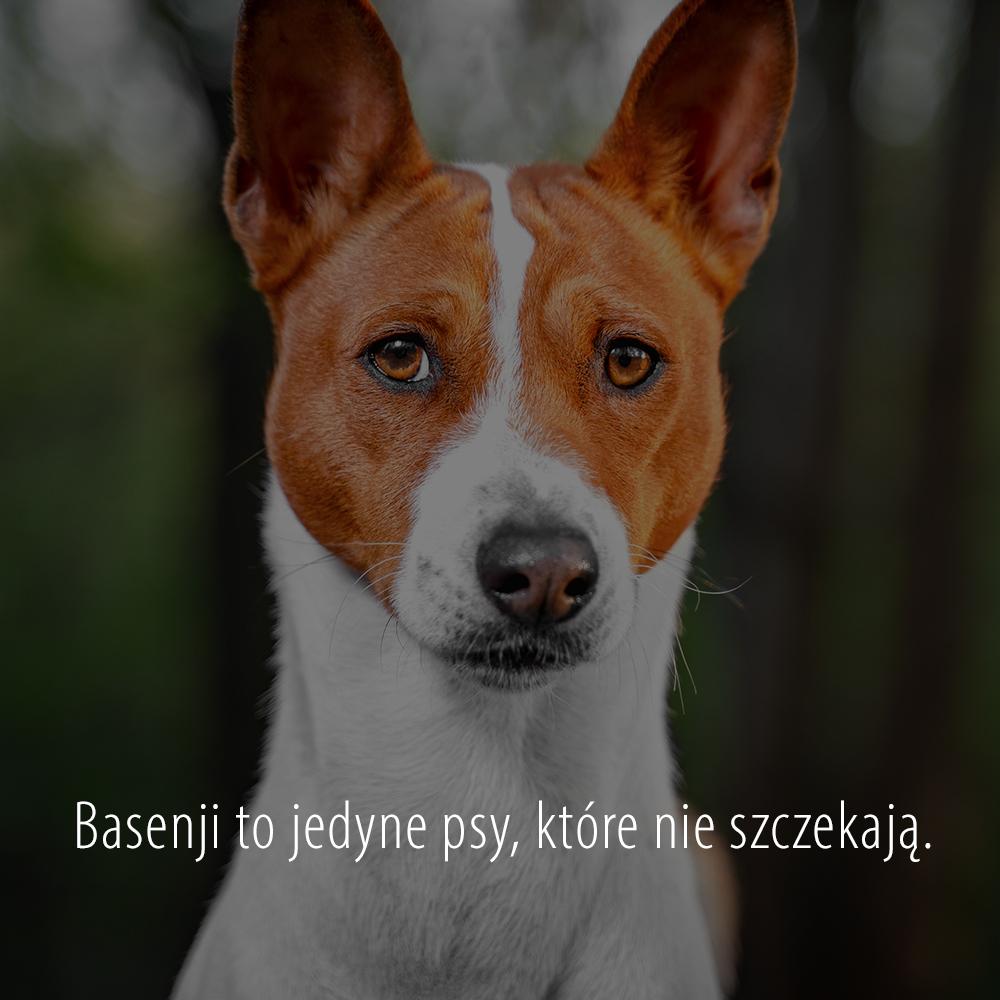 Basenji to jedyne psy, które nie szczekają