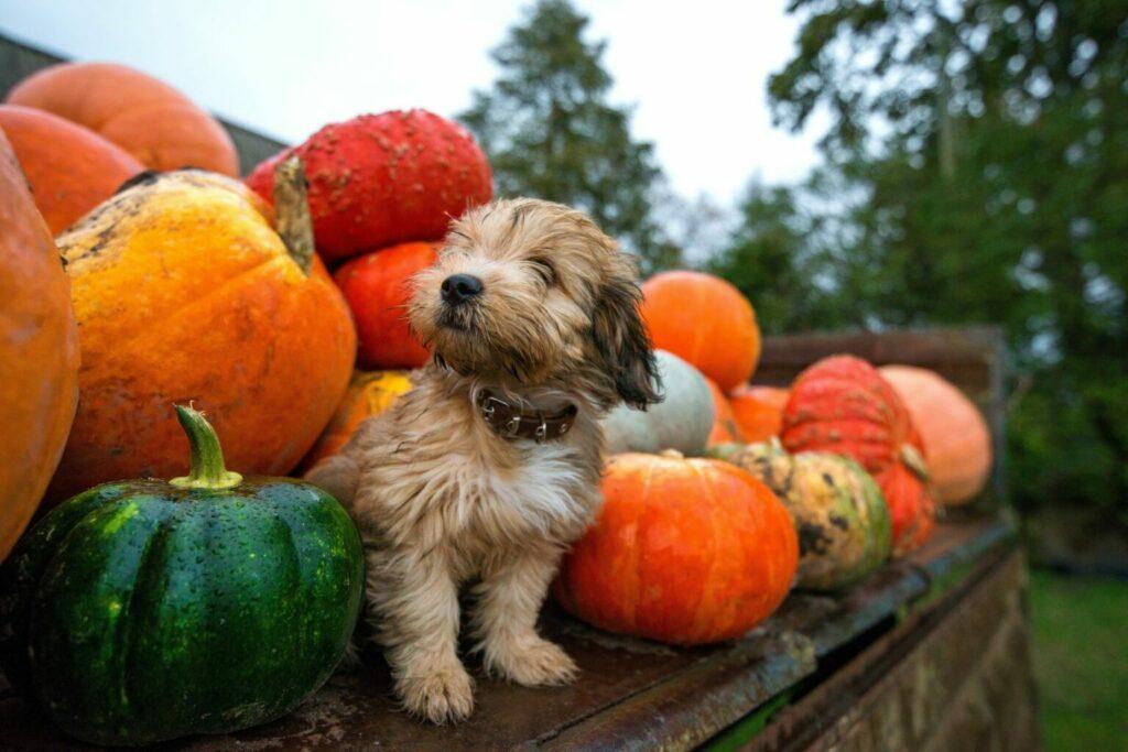 czy pies może jeść wszystkie odmiany dyni?