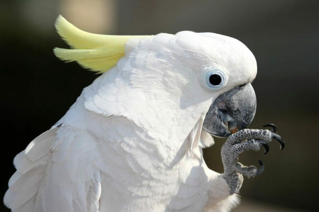 kakadu żółtoczuba