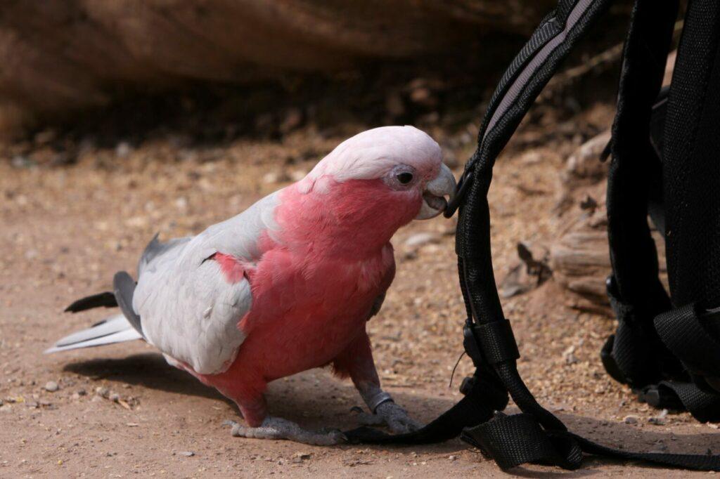 kakadu różowa