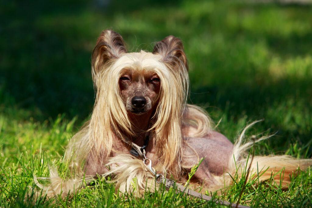 pies rasy grzywacz chiński nagi