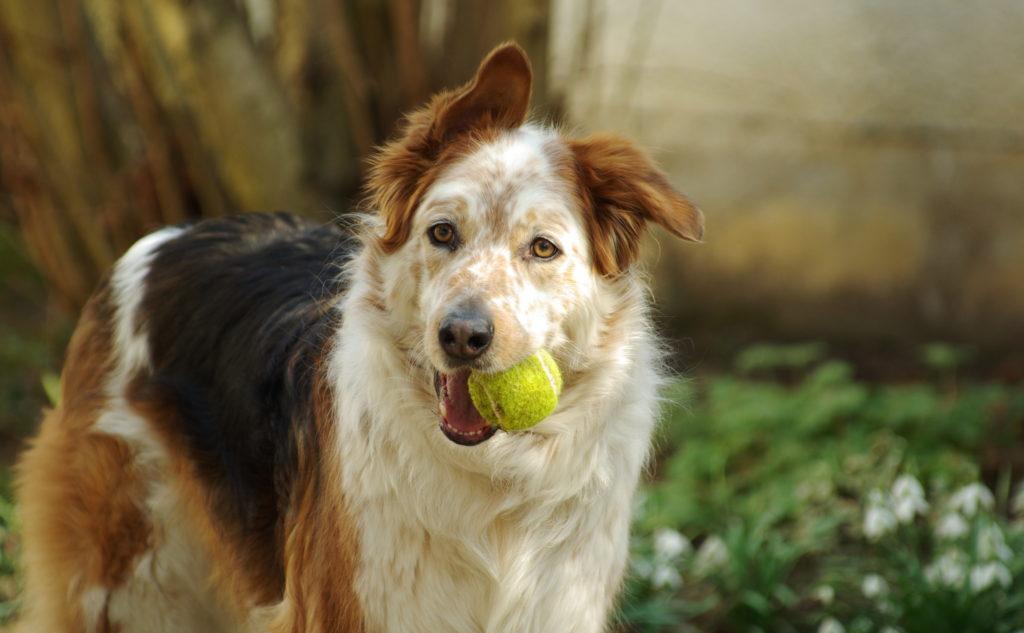 adopcja starszego psa