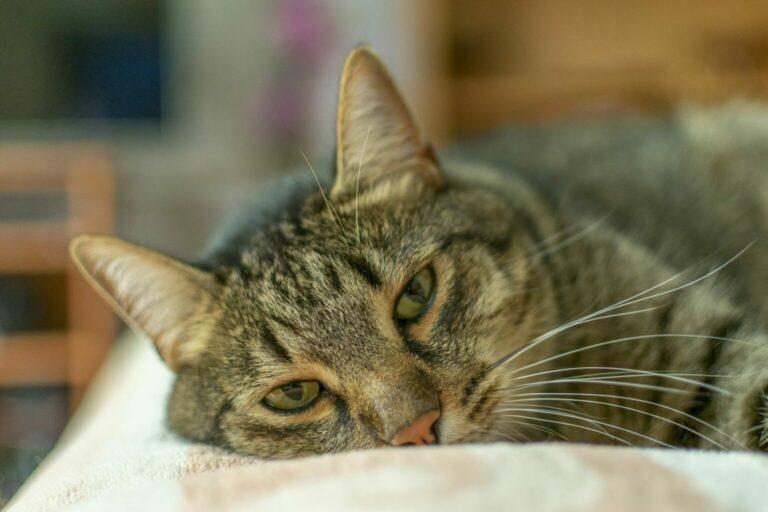 Nieżyt żołądka u kota