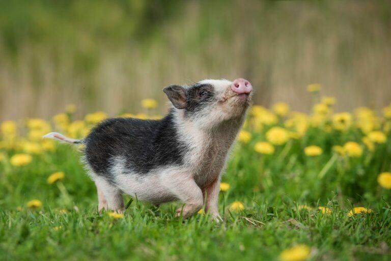 miniaturowa świnka zwisłobrzucha