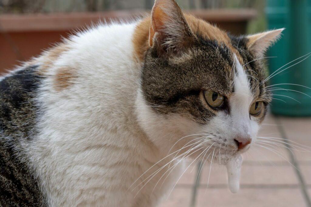 nieżyt żołądka u kota objawy