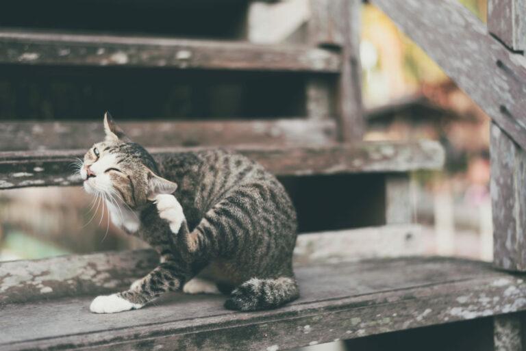 inwazja pcheł u kota