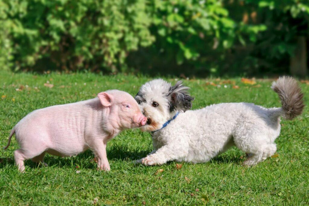 świnka miniaturka z kompanem