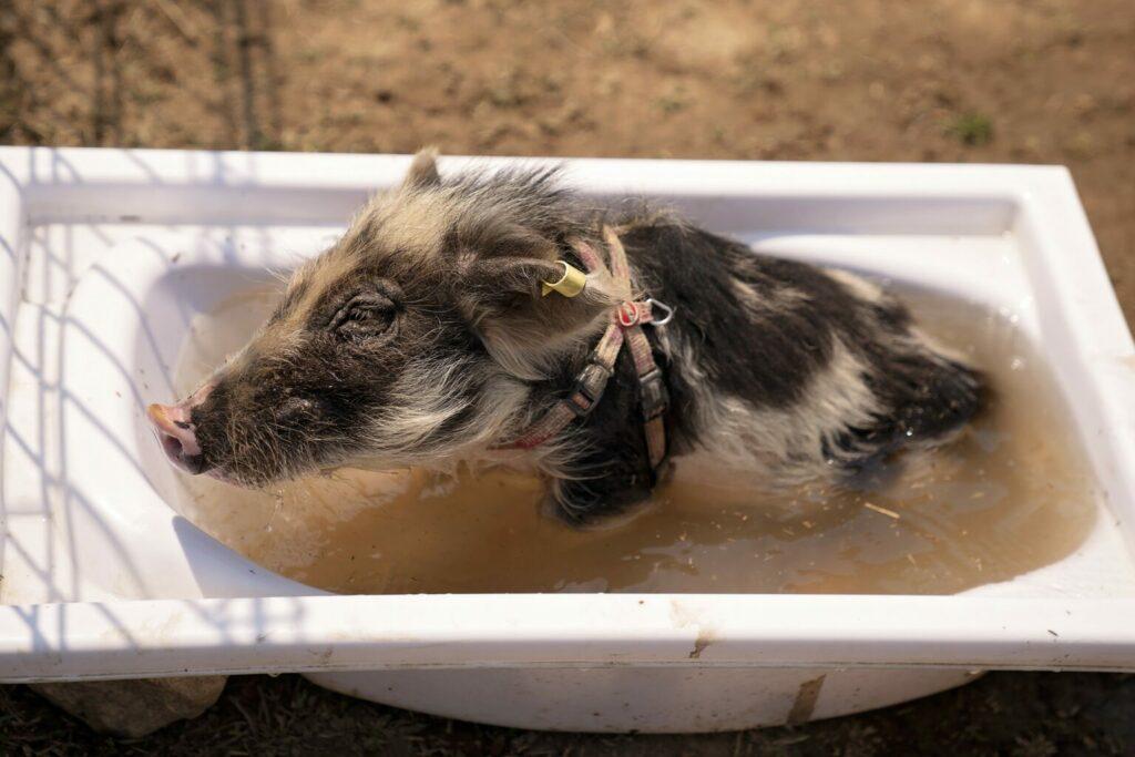 świnka miniaturowa bierze kąpiel