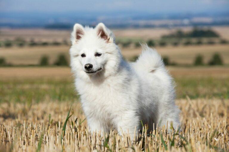 rasa psa szpic niemiecki duży