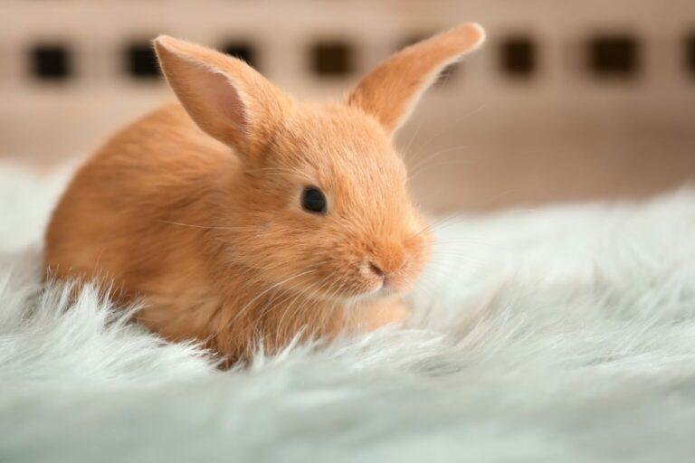 szacowanie wieku królika
