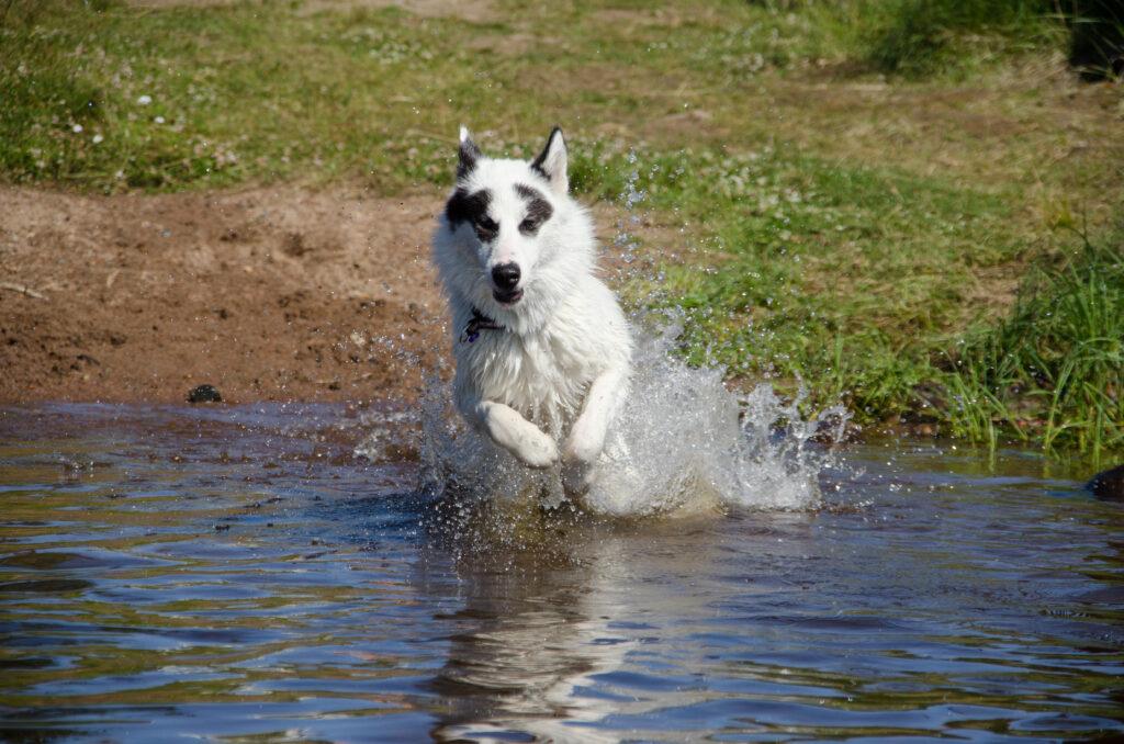 kanadyjski pies eskimoski rasa psa