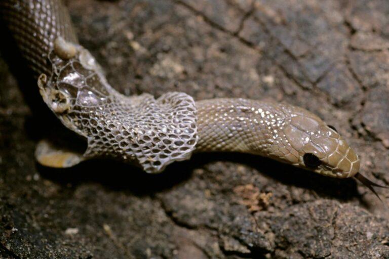 linienie u węży