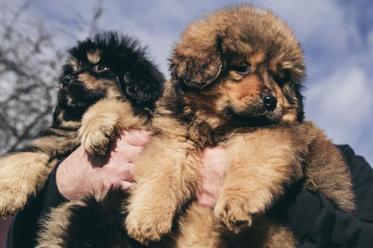 10 najdroższych ras psów