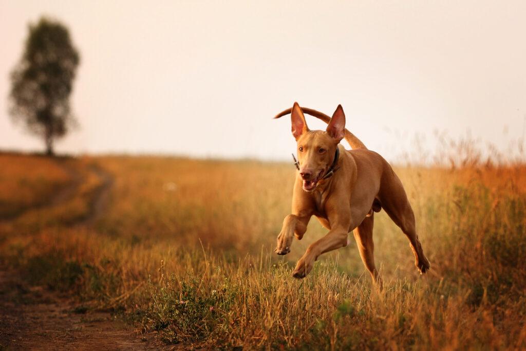 jedna z najdroższych ras psów na świecie
