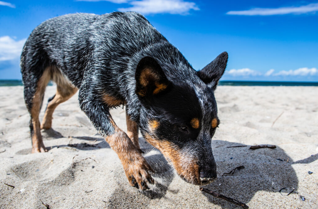 Australian Cattle Dog pies pasterski zaganiający