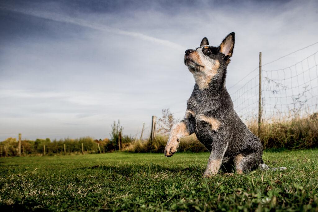 szczeniak rasy Australian Cattle Dog