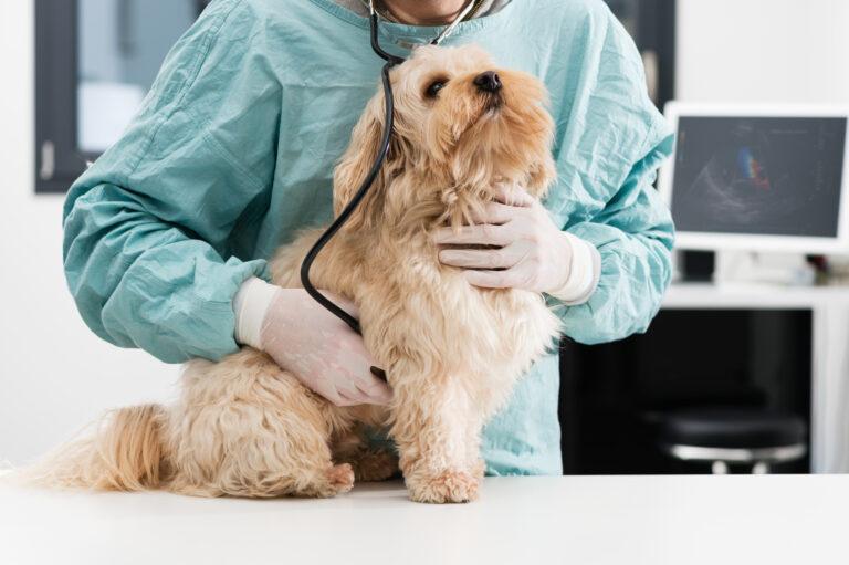 Zapalenie trzustki u psa pancreatitis