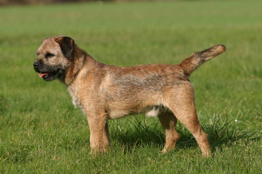 pies rasy border terrier