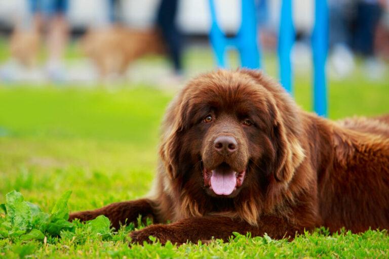 nowofundland rasa psa