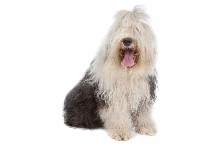 owczarek staroangielski rasa psa