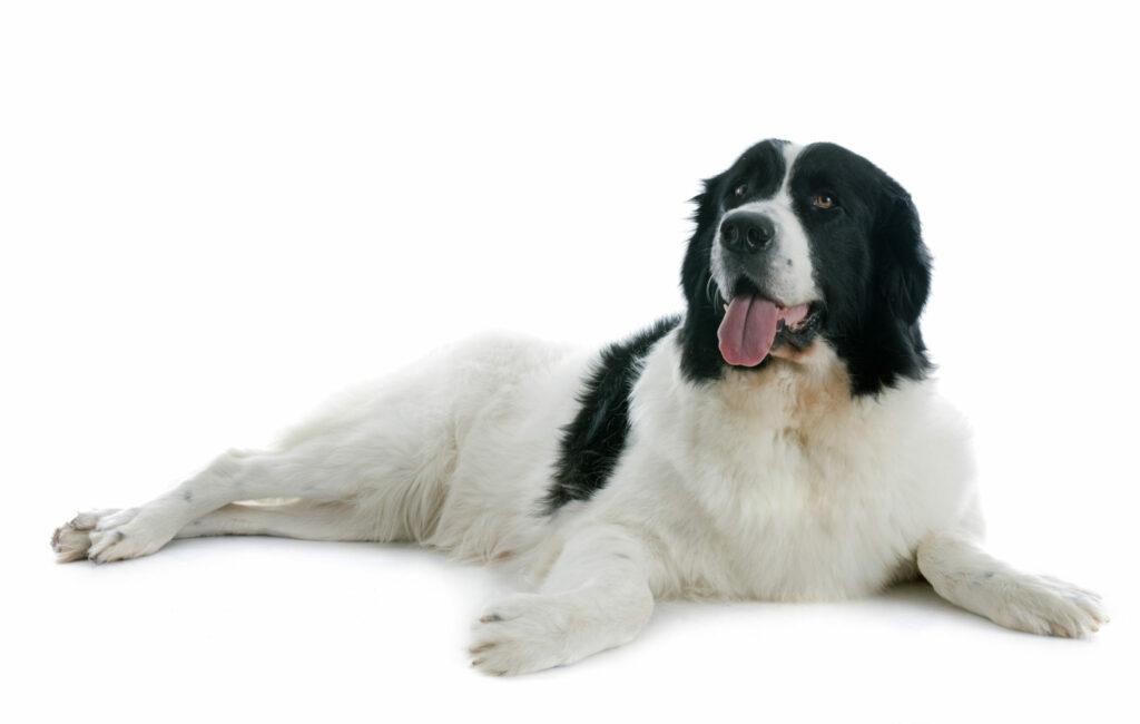 landseer pies pracujący i rodzinny