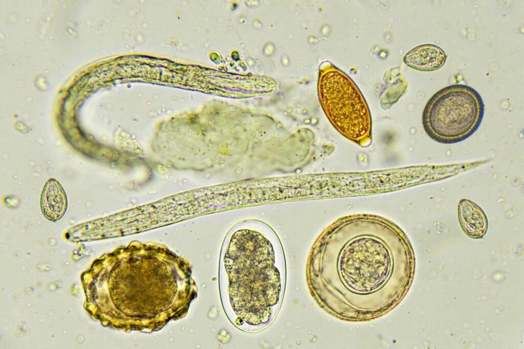 robaki psa pod mikroskopem