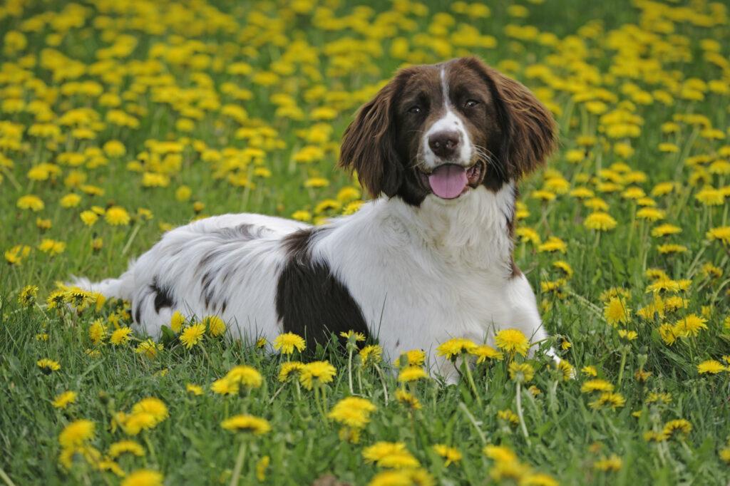płochacze: pies rasy springer spaniel