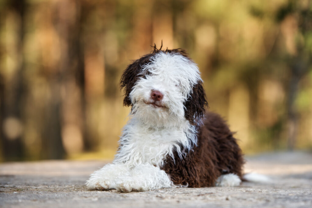 szczeniak rasy hiszpański pies dowodny