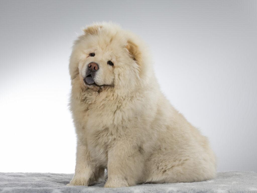 pies rasy chow chow umaszczenie białe