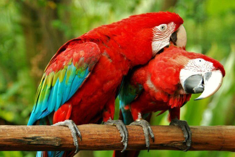 papugi ara