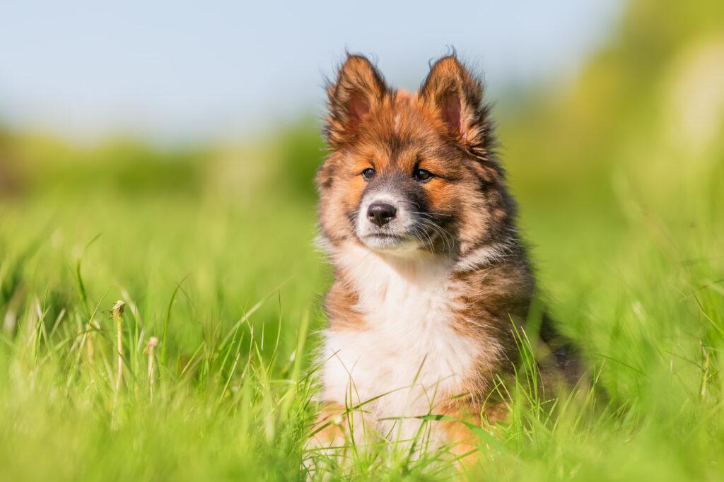 pies elo szczenię