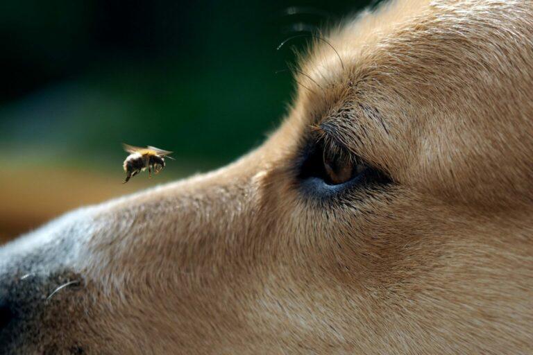 użądlenie pszczoły u psa