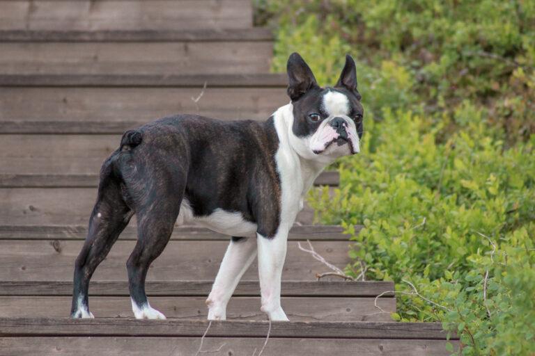 rasa boston terrier