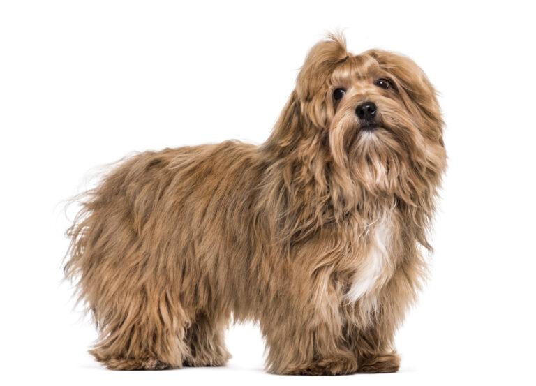 hawańczyk rasa psa