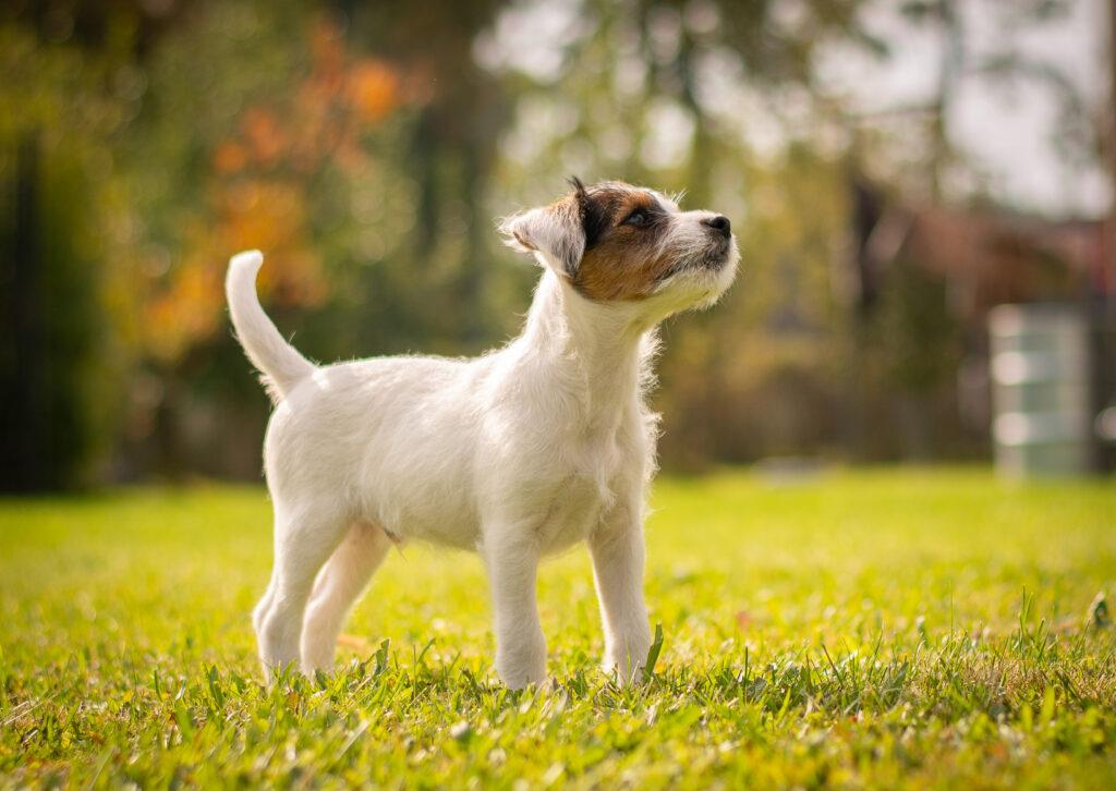 szczeniak rasy parson russel terrier