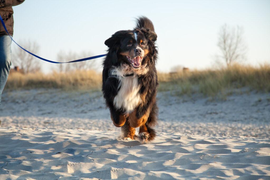 berneński pies górski na spacerze