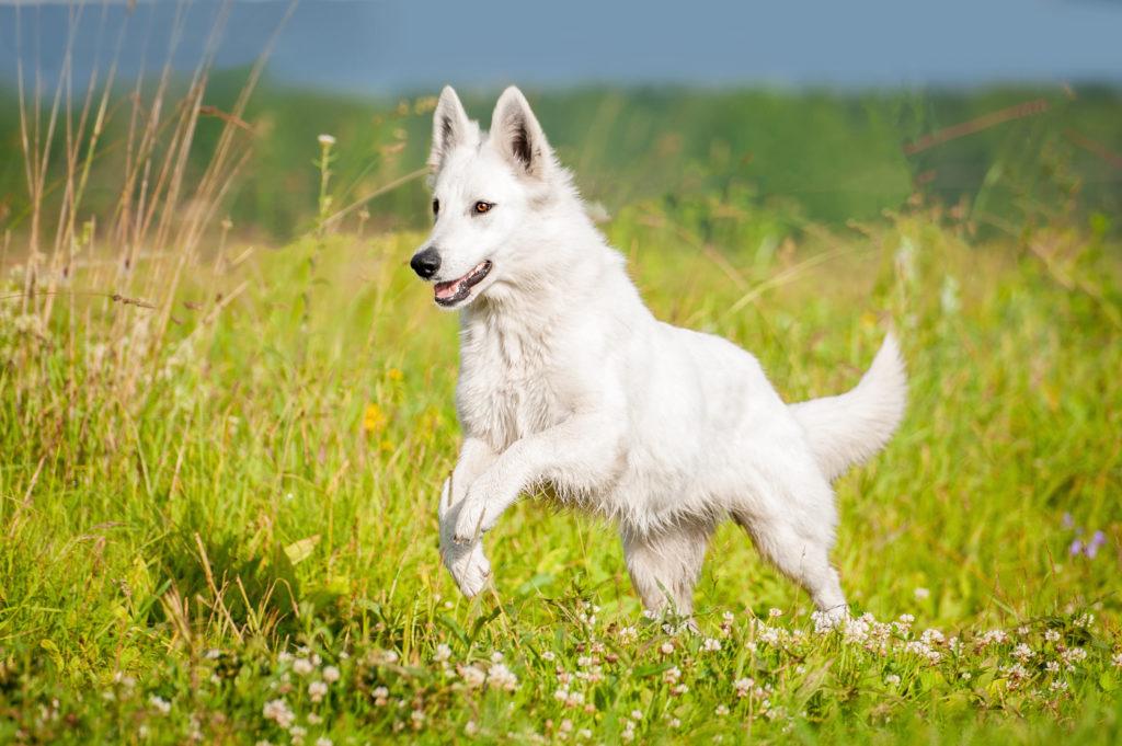 biały owczarek szwajcarski w ruchu