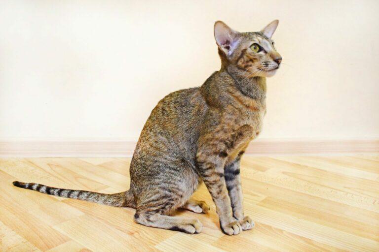 kot orientalny krótkowłosy rasa kota