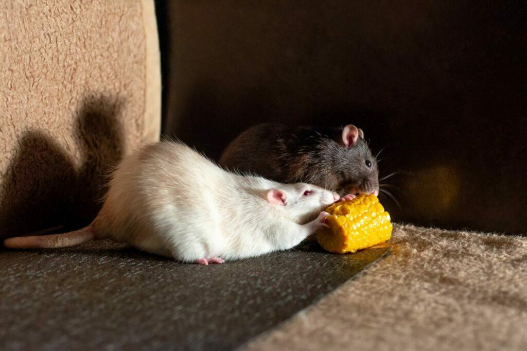 jedzenie dla szczura